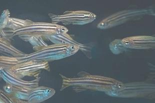 zebrafish 5G